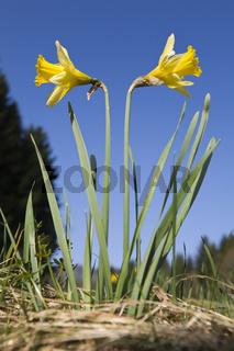 Gelbe Narzisse, (Narcissus pseudonarcissus), wild daffodil