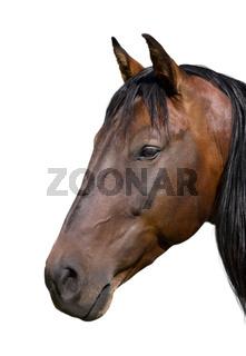 freigestelltes Pferdeportrait