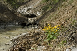 Lawine über Gebirgsbach im Nationalpark Kalkalpen und Sumpf Dotterblumen (Caltha palustris L)