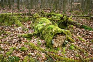Verwitterndes Totholz im Nationalpark Edersee-Kell