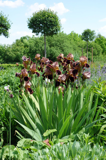 Iris Barbata-Elatior Louvois, Hohe Bart-Iris, Tall Bearded Iris