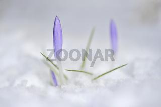 Krokus im Schnee