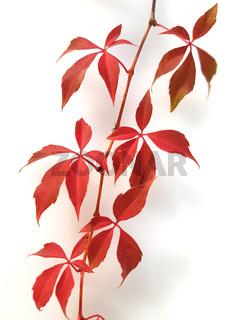 Wilder, Wein; Herbst, Parthenocissus quinquefolia