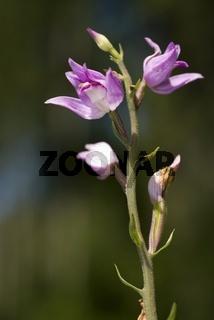 Rotes Waldvöglein (Cephalanthera rubra)