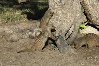 Zebramanguste