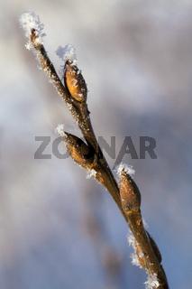 Frosty twig with buds