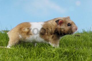 Goldhamster, Mesocricetus auratus, Golden Hamster, studio