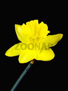 Gelbe Blüte einer Osterglocke freigestellt auf schwarzem Hintergrund