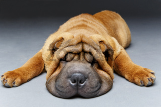 beautiful shar pei puppy sleeping