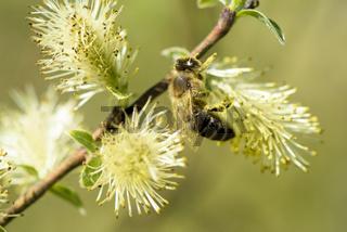 Weidenkätzchen mit Pollen und Blütenstaub und Honigbiene