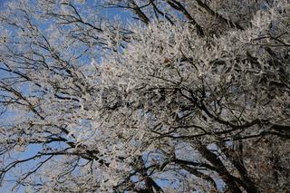 Quercus robur, Stieleiche, German Oak, Reif, Nebel, White Frost, Fog