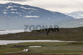 zwei junge Elchbullen (lateinisch: Alces alces; englisch: moose; schwedisch: aelg) in einem Sumpf am See Vastenjaure, Padjelanta Nationalpark, Welterbe Laponia, Lappland, Schweden