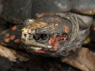 Eine kleine Schildkröte im Laub
