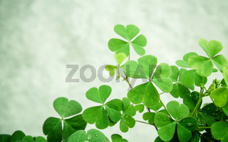 Close up Clovers leaves for background .The symbolic of Clover the first is for faith, the second is for hope, the third is for love Clover and shamrocks is symbolic dreams .