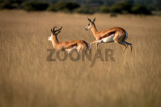 Herd of Springboks standing in the high grass.