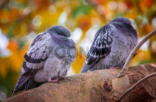 Two pigeons sitting on a branch of a tree