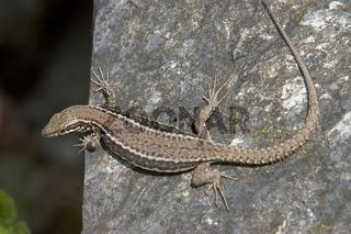 Mauereidechse Weibchen, Podarcius muralis, Wall lizard