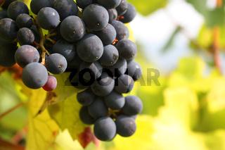 Weintrauben an einer Rebe im Rheingau