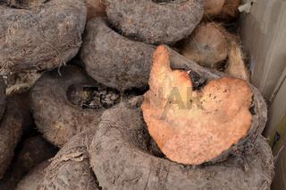 Amorphophallus paeoniifolius or elephant foot yam