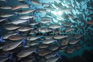 Schwarm Blauschwanz-Nasendoktor, Indonesien
