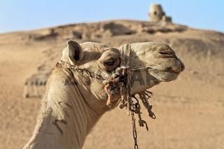 Egypt Aswan Camel On The Edge Of The Desert