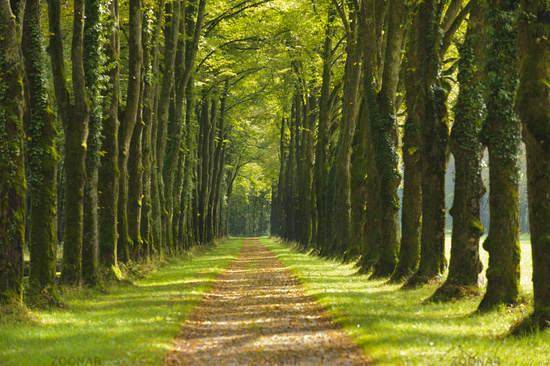 avenue with beautiful linden trees and footpath