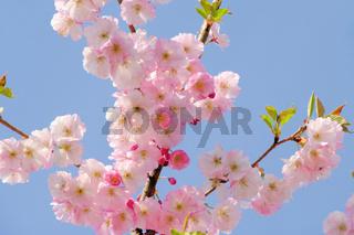 Kirschblüte rosa