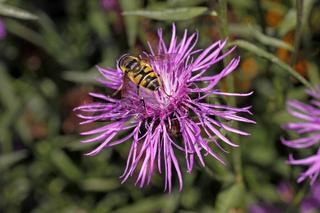 Centaurea phrygia, Prygische Flockenblume mit Schwebfliege