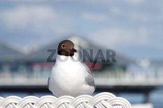 Lachmöwe an der Ostsee