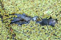 Portrait of Alligator floating in a swamp