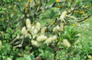Salix hastata, Engadin-Weide, Halbert willow