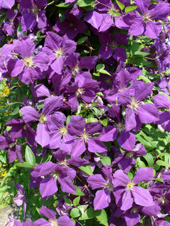 Clematis jackmanii, Waldrebe, leather flower
