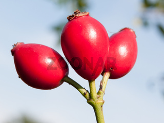 lush red ripe three wild rose hips rosa canina