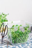 Peas microgreens with seeds and roots. Sprouted peas Seeds. Sprouting Micro greens. Seed Germination at home. Vegan and healthy eating concept. Growing sprouts. Green living concept