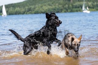 Hunde spielen im See - Spaß im Wasser