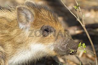 Junges Wildschwein (Sus scrofa)