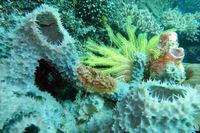 Haarstern,Federstern oder Seelilie zwischen Schwamm und Seescheide