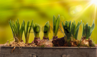 Elongated flower pot with daffodils and hyacinth bulbs on a wooden table