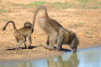 A chacma baboon (Papio ursinus) with young drinking water