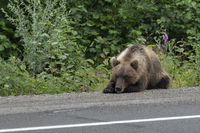 Wild hungry Kamchatka brown bear lies on highway and sadly looks at road