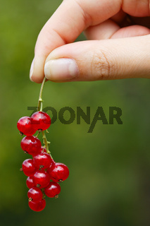 Hand hoding red currants