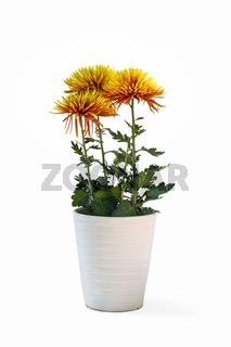 potted orange chrysanthemum isolated