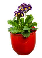 Isolated purple primrose flower in a flowerpot
