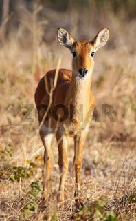 Puku in den Puku flats im Chobe Nationalpark, Botswana; Kobus vardonii; puku, Botsuana