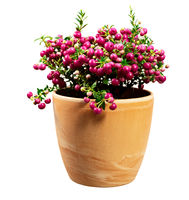 Isolated flowerpot with a pink Pernettya mucronata