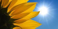 Sonnenblume vor sonnigem Himmel