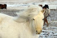 Islandpferd im Winter