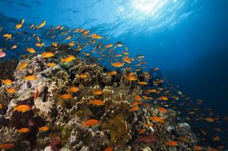 Harems-Fahnenbarsche am Riff, Aegypten