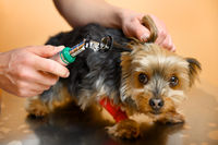 Veterinarian inspecting dog ears with otoscope on table at animal hospital