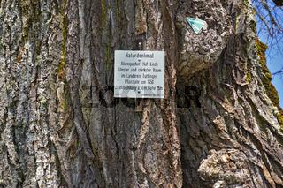 Sommerlinde, Tilia platyphyllos, Naturdenkmal Allenspacher Hoflinde auf der Schwäbischen Alb,
